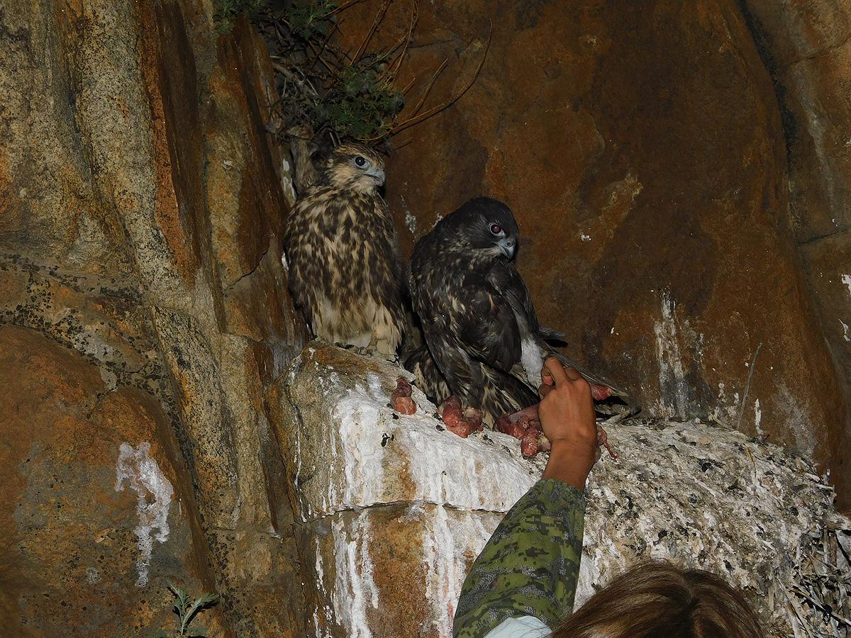 Птенцов подсаживали ночью, чтобы после пережитого стресса они не улетели далеко, а пересидели ночь и наутро, услышав крик диких птиц, присоединились к ним.