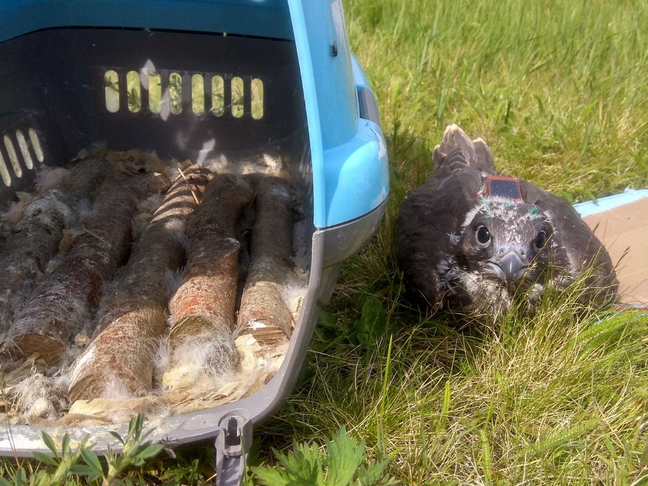 Новоселье птенцов балобанов