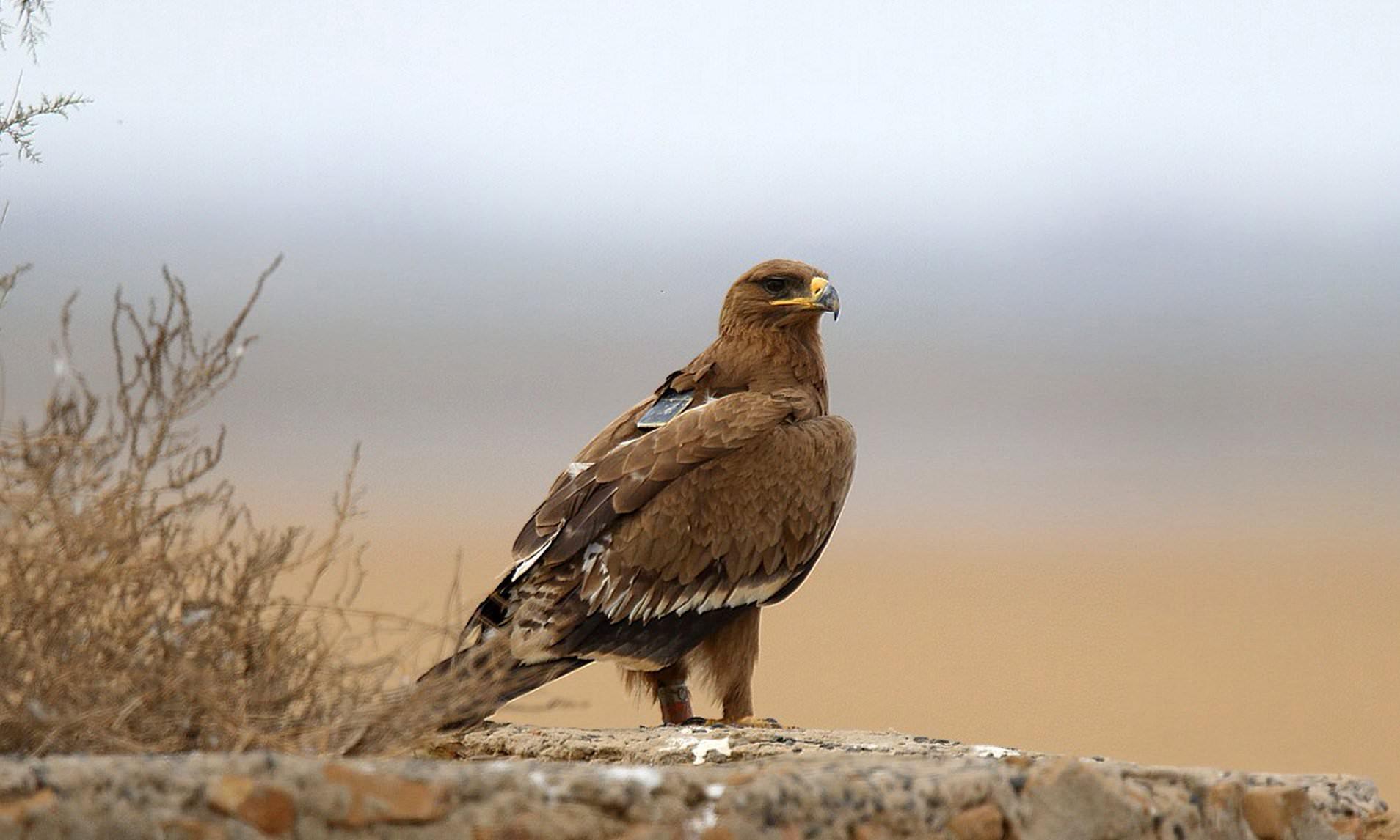 Это три степных орла из Тывы (два самца – Хадад и Шойгу, а также самка Тэс), самка Ита из Хакасии и самка Жанна из Горного Алтая.