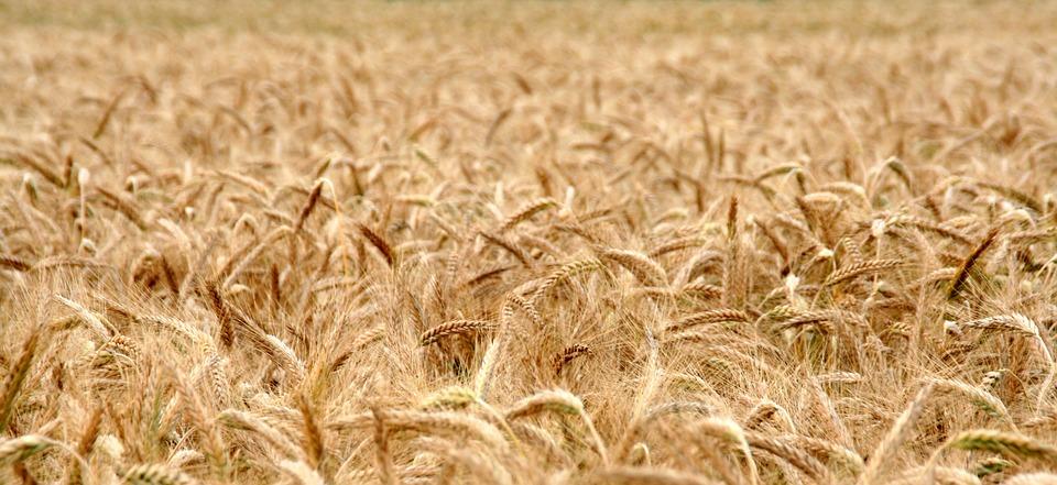 Польза и вред пшеничной муки