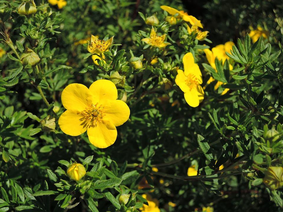 Для лечебных целей собирают верхушки растения – молодые побеги с листьями и цветками.