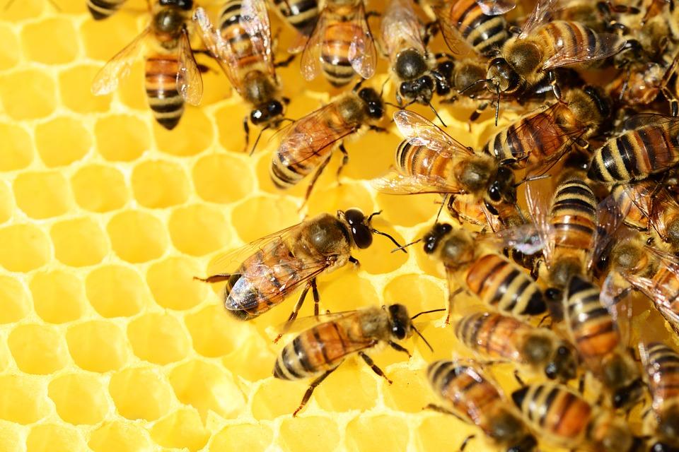 В народной медицине мед с прополисом применяется в качестве противовирусного, обезболивающего, противомикробного и отхаркивающего средства.
