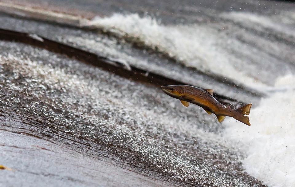 К жирным рыбам (8–20% жира) относятся лососевые (семга, форель, нерка, кижуч, чавыча), скумбрия, нельма, нототения, осетр, севрюга, сельдь жирная, сайра.